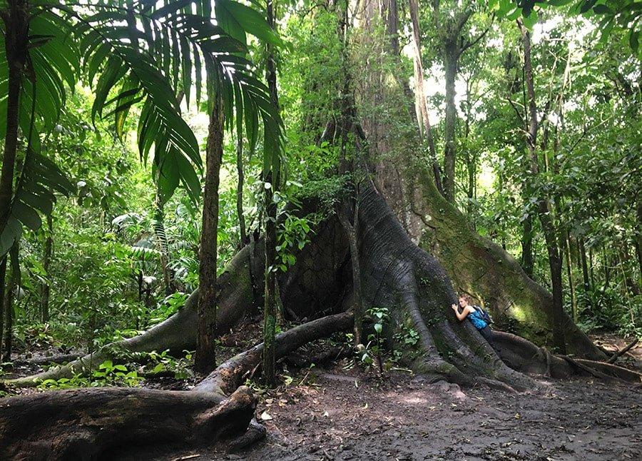 Famós ficus de més de 300 anys al Parc Nacional Volcán Arenal