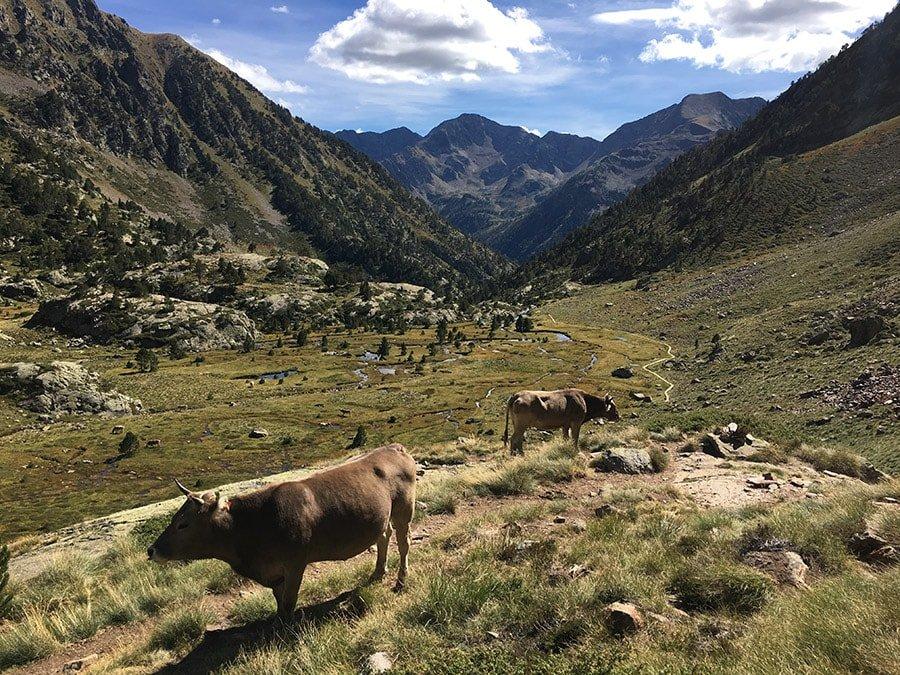 Vaques pasturant de camí a la Pica d'Estats