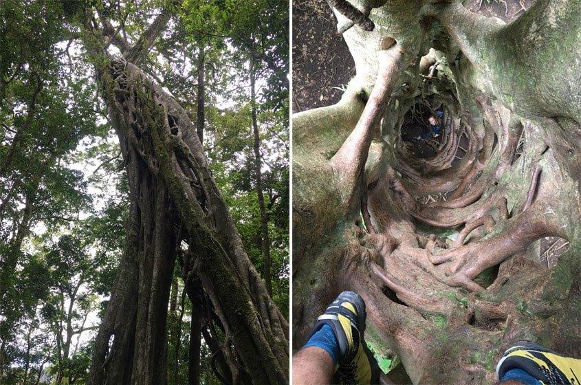 Ficus foradat de Santa Elena