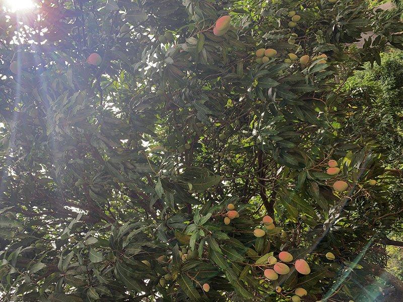 Arbre de mango a Abéné